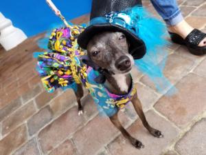 Dog in costume, European Village